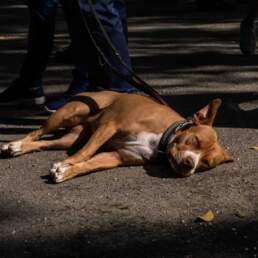 Un cane gode del calore dell'asfalto al GP di Merano